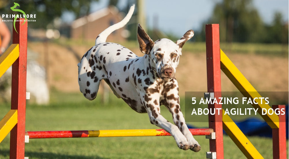 5 Amazing Facts About Agility Dogs