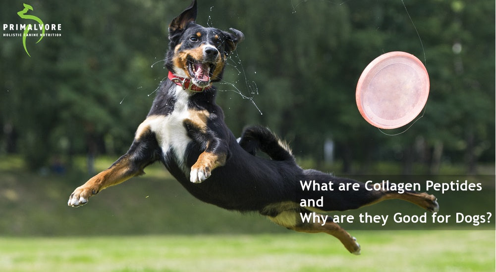 What are Collagen Peptides and Why are they Good for Dogs?