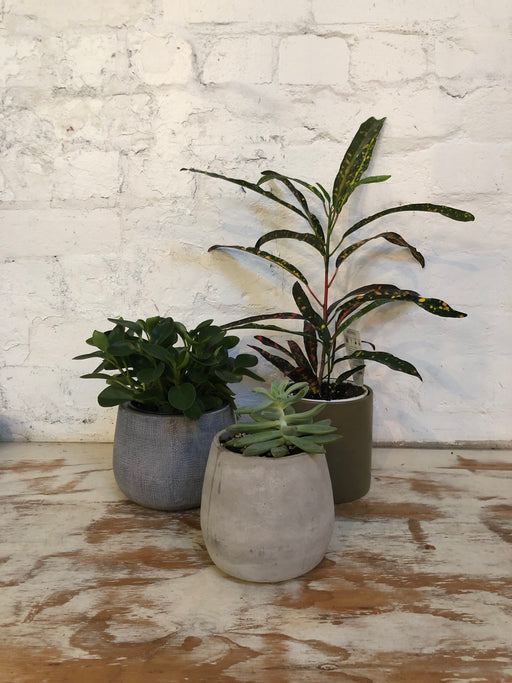 Grey Cement Pot - Round with plant