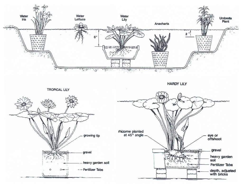 Water Lilies & Aquatic Pond Plants Planting Instruction