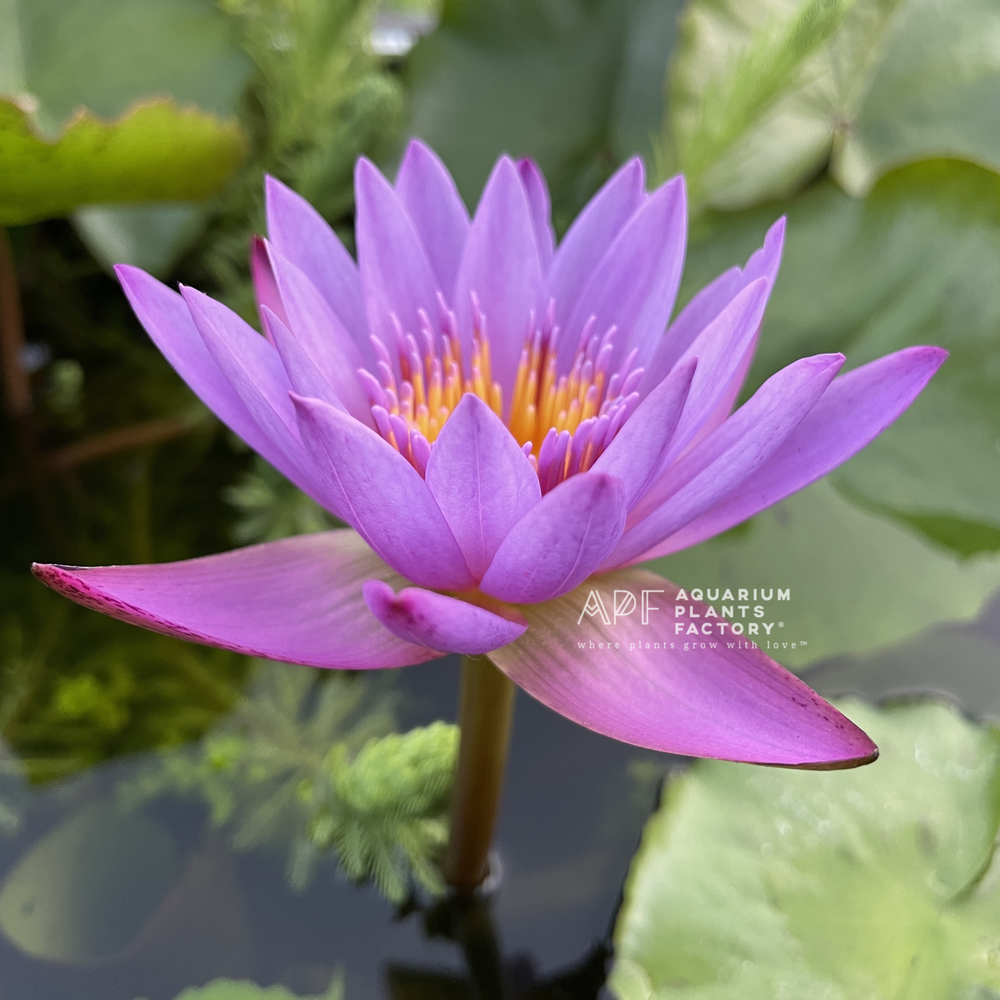 Nymphaea King of Blue