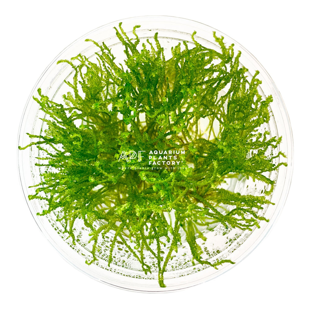 Taiwan Moss - Tissue Culture Cup