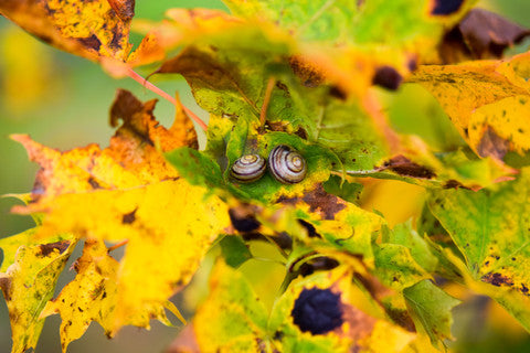 snails in autumn leaves, autumn in Sweden, cute snails