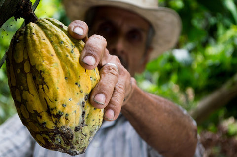 cacao fruit being picked from a tree by a man