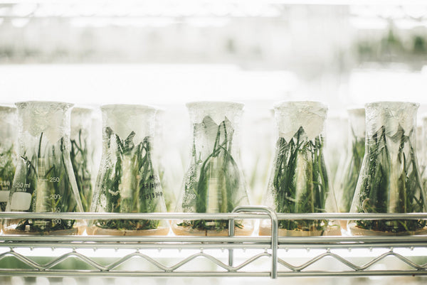 Laboratory shelf of rows of glass beakers with green plants growing inside