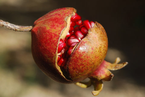 Photo of beautiful pomegranate fruit attached to branch and split, showing arils
