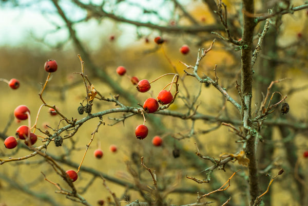 Photograph of rosehip tree, with a few red rosehips and a meadow in the blurred background