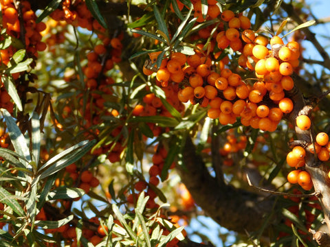 Sea buckthorn berry tree