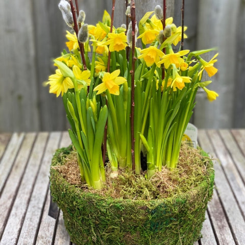 Mini Daffodils in moss pot