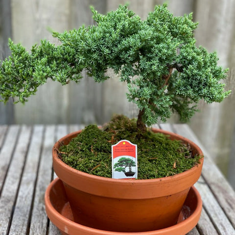 Medium size Juniper Bonsai (including saucer)