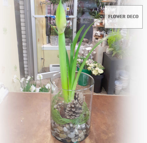 Amaryllis Grow Arrangement