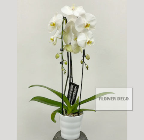 Phalaenopsis Orchids Double