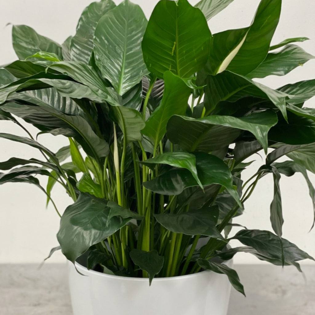"10"" Peace Lily"