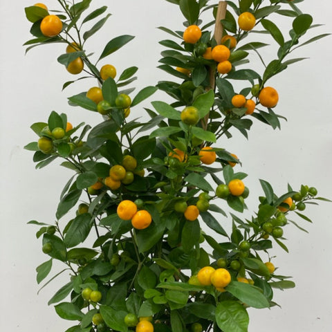 "Calamondin Miniature Orange Tree (14""pot)"