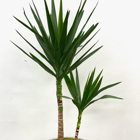 "Yucca 10"" in stone grey pot"