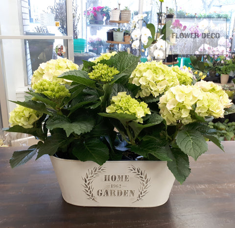 Glowing Hydrangeas in Pot