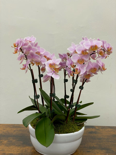 "8"" mini pink orchid planter"