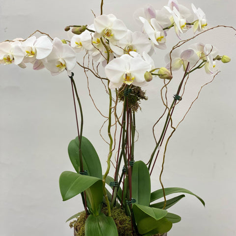 "10"" Large orchid planter"