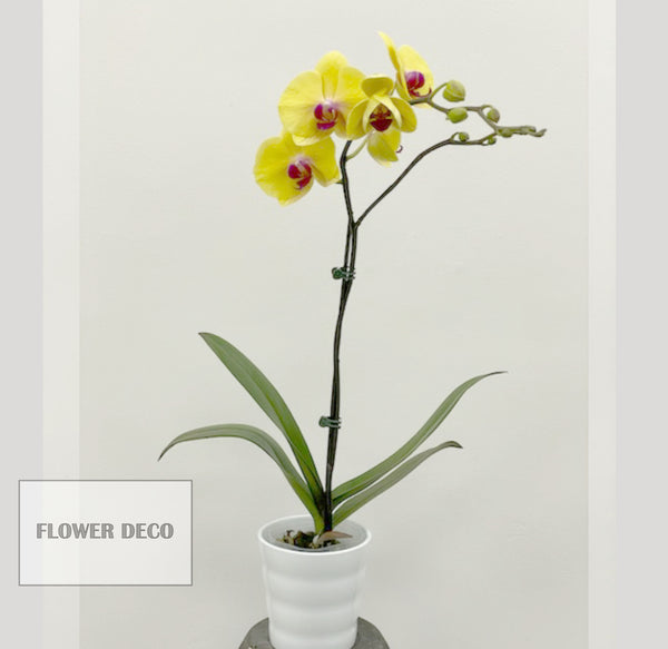 Phalaenopsis Orchids Colour