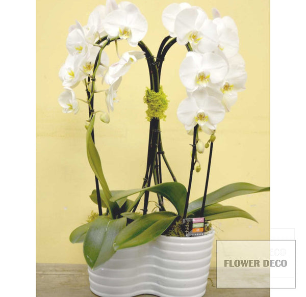 Two Double White Phalaenopsis Orchids, cascading