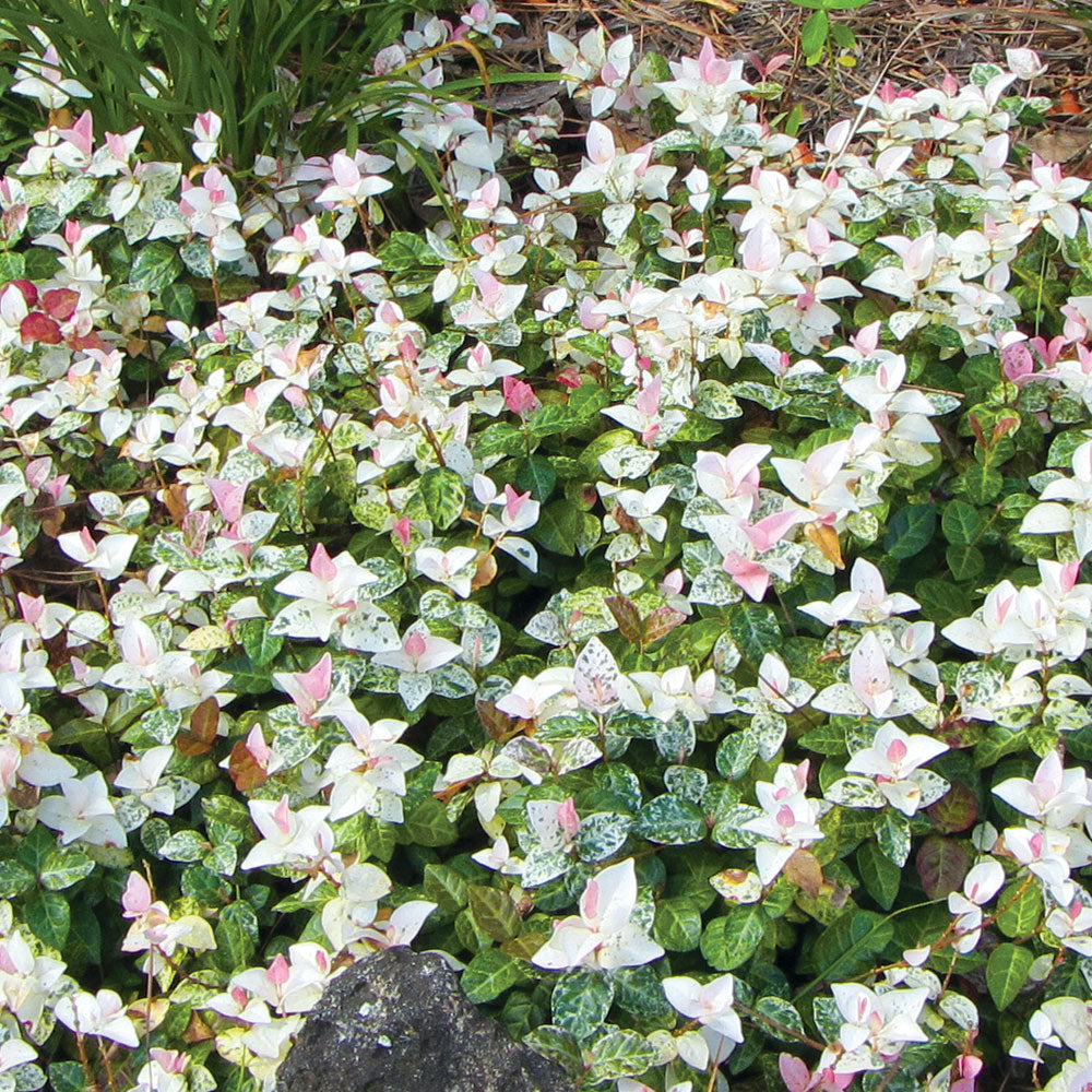 Rode Groundcovers - Sno Cap