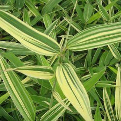 Buy Online Hibanobambusa Shiroshima Bamboo Plant For Your Garden & Hom...