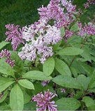 Korean Lilac Bush Syringa Villosa Fragrant Purple Flowers