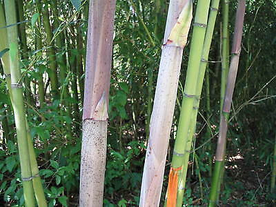Phyllostachys Decora bamboo plant for sale for your garden,