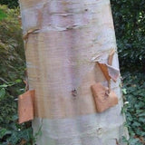 Red, orange and white bark on a Chinese paper Birch tree