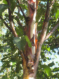Peeling bark on a Chinese Paper Birch, Betula albo sinensis
