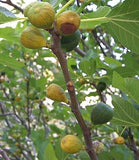 Green Ischia Fig Tree, Sweet Fruit, Semi Dwarf, Self Fertile.