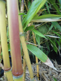 Phyllostachys Spectabilis Bamboo Plant  For Sale For Your Garden