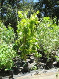 Niagara grape vine plants growing at Maya Gardens, Inc.