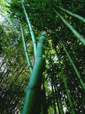Phyllostachys bambusoides 'Madake', Japanese Giant Timber  Bamboo