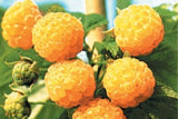 Fall Gold Everbearing Raspberry, great to eat fresh or preserve.