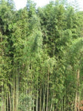 Buy Online Phyllostachys Madake Giant Timber Bamboo PlantForYourGarden