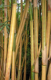 Bambusa Multiplex Alphonse Karr Bamboo Plant For Your Home And Garden