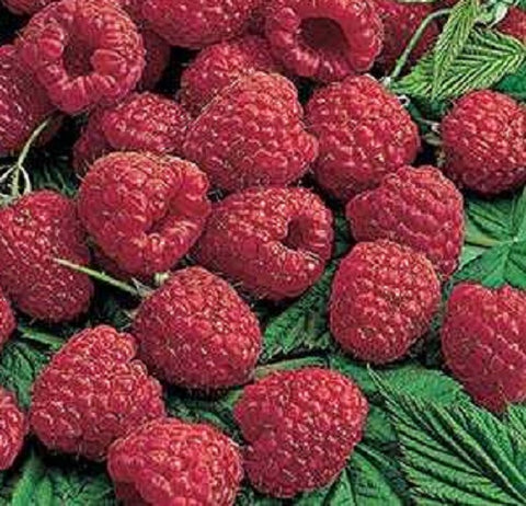 Buy Online Lewis Red Raspberry Fruit Plants For Your Home & Garden