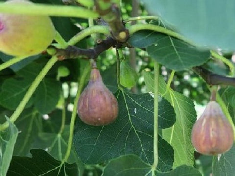 Buy Online Dwarf Atreano Fruiting Fig Tree Plant For Your Garden
