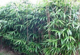 Buy online Japanese Arrow Pseudosasa Japonica Bamboo For Your Garden