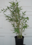 Bambusa multiplex makes a nice screen or hedge for your garden, clumping type of bamboo