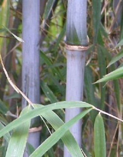 Bashania Fargesii Wind Break Bamboo Plant For Your Garden