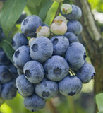 Buy Online Northsky Blueberry For Your Home And Garden