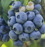 Buy Online CovilleBlueberry For Your Home & Garden From Maya Gardens