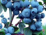 Buy Online Duke Blueberry For Your Home & Garden From Maya Gardens
