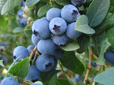 Bonus Blueberry, Box Of 3