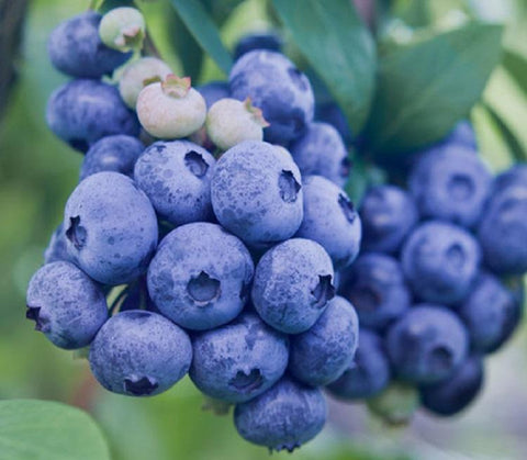 Buy Online Blueray Blueberry For Your Home And Garden From Maya Gardens, Inc.