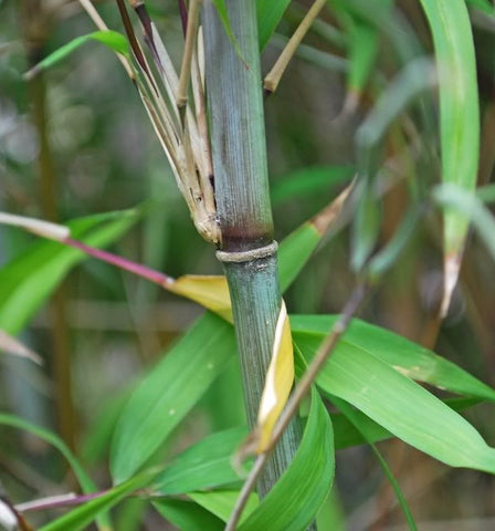 Borinda Boliana, Himalayan Blue Mountain Bamboo Plant For Your Garden