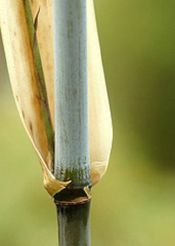 Borinda Angustisima Clumping Bamboo Plant For Your Home And Garden