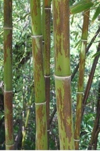 Buy Online Phyllostachys Nigra Bory Black Bamboo Plant For Your Garden